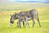 Mother and Baby Burro — Stockfoto