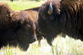 Two Buffalo — Stock Photo