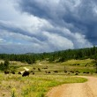 Royalty-Free Stock Photo: Buffalo Grazing Along a Dirt Road