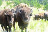 Two Buffalo — Stock Photo