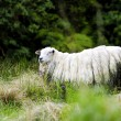 Royalty-Free Stock Photo: Wooly Sheep in New Zealand