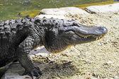American Alligator — Stock Photo