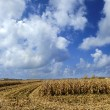 End of Season Corn Field — Stock Photo #25485323