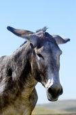 Portrait of a burro — Stock Photo