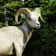 Bighorn Sheep — Stock Photo