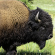 Stock Photo: Portrait of Buffalo