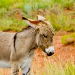Baby Burro — Stock Photo #41623939