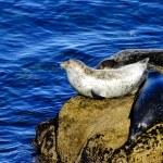 ������, ������: Three Harbor Seals