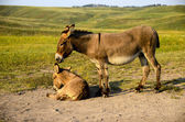 Mother and Baby Burro — Stock Photo