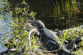 Two Alligators at Everglades National Park — Stock Photo