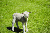 Lamb in a field of grass — Stock Photo