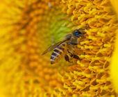 美丽的向日葵和蜜蜂 — 图库照片