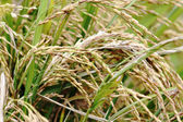 Asmine rice in farm. — Stock Photo