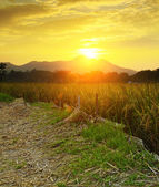 Golden sunset over farm field — Stock Photo