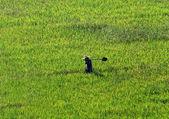 Farmer walking through a wheat field — Stock Photo