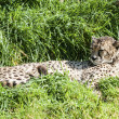 Southern Cheetah Resting — Stock Photo
