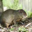 Azara Agouti — Stock Photo