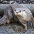 Stock Photo: AsiSmall Clawed Otter