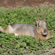Close up of a Mara resting — Stock Photo