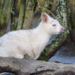 Albino Wallaby — Stock Photo