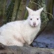 Albino Wallaby — Stock Photo #13861211