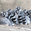 Stock Photo: Troop of Ring Tailed lemurs