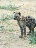 Young Spotted Hyena — Stock Photo