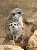 Two Meerkats — Stock Photo