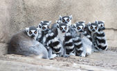 Troop of Ring Tailed lemurs — Stock Photo