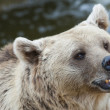 Brown Bear — Stock Photo #15649019