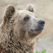 Brown Bear — Stock Photo #15649021