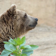 Brown Bear — Stock Photo #15649201