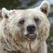 Brown Bear — Stock Photo #15649209