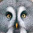 Royalty-Free Stock Photo: Great Grey Owl