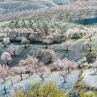 Trees with Almonbd Blossom — Stock Photo