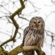 Stock Photo: Ural Owl