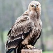 Tawny Eagle — Stock Photo #22403563