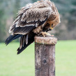 Tawny Eagle — Stock Photo #22403595