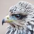 Tawny Eagle — Stock Photo