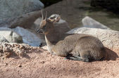 Klipspringer Antelope — Stock Photo