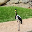 Close up of a Saddle Billed Stork — Stock Photo