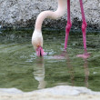 Greater Flamingo — Stock Photo #34525251