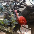 Scarlet Ibis — Stock Photo #34525953