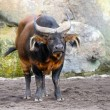 Red Forest Buffalo — Stock Photo
