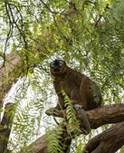 Red Fronted Lemur — Stock Photo