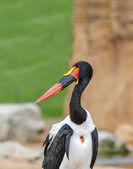 Close up of a Saddle Billed Stork — Foto Stock