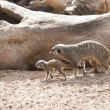 Close up of  Baby Meerkat and Mother — Stock Photo