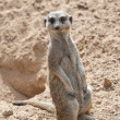 Close up of a Meerkat — Stock Photo