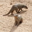 Mongoose — Stock Photo #37174111