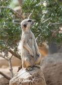 Zbliżenie meerkat — Zdjęcie stockowe